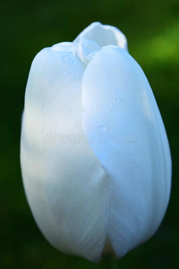 Πτώσεις βροχής σε μια άσπρη τουλίπα στοκ φωτογραφίες με δικαίωμα ελεύθερης χρήσης