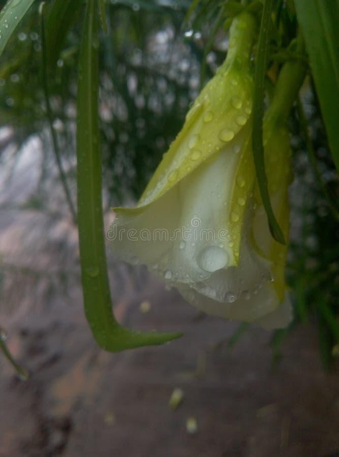 Πτώσεις βροχής στα λουλούδια στοκ φωτογραφία με δικαίωμα ελεύθερης χρήσης