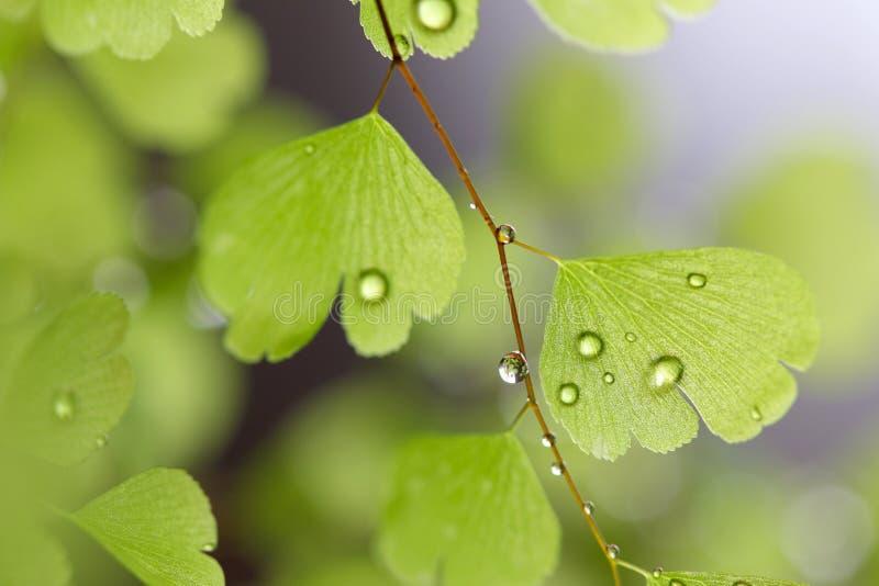 Πτώσεις βροχής στη φτέρη στοκ εικόνα με δικαίωμα ελεύθερης χρήσης