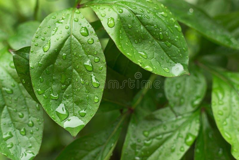 Πτώσεις βροχής στο πράσινο φύλλωμα των εγκαταστάσεων ανάπτυξης στοκ εικόνες με δικαίωμα ελεύθερης χρήσης