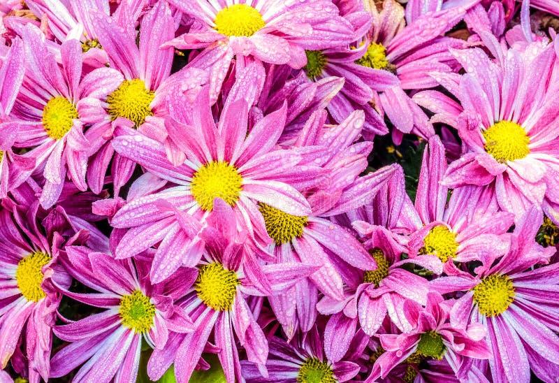 Πτώσεις δροσιάς πρωινού στα ρόδινα λουλούδια μαργαριτών στο βοτανικό κήπο στοκ φωτογραφία με δικαίωμα ελεύθερης χρήσης