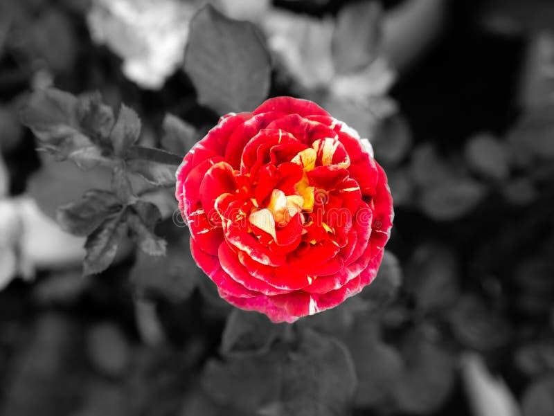 Πτώσεις δροσιάς στο κόκκινο λουλούδι Yellow Rose στοκ φωτογραφία με δικαίωμα ελεύθερης χρήσης