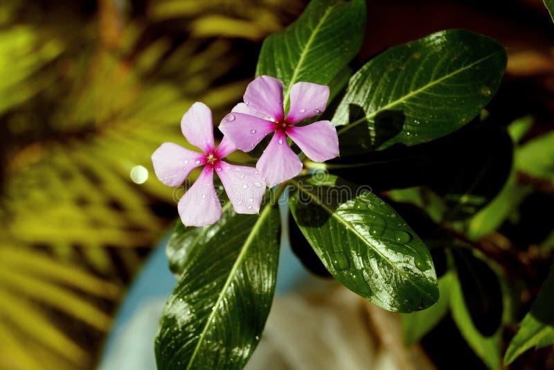 Πτώσεις δροσιάς στο λουλούδι στοκ εικόνες