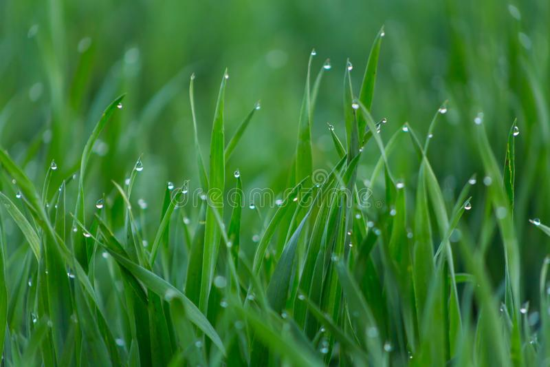 Πτώσεις κινηματογραφήσεων σε πρώτο πλάνο της δροσιάς στη νέα φρέσκια πράσινη χλόη στοκ φωτογραφία με δικαίωμα ελεύθερης χρήσης