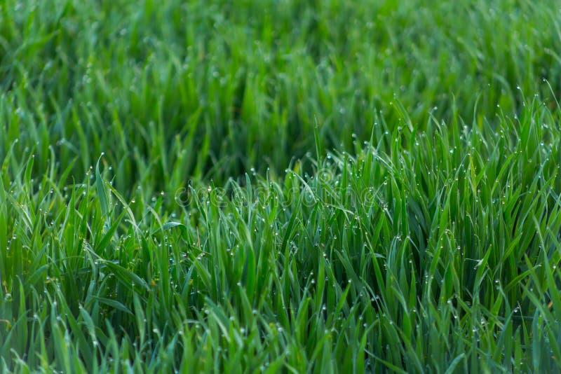Πτώσεις κινηματογραφήσεων σε πρώτο πλάνο της δροσιάς στη νέα φρέσκια πράσινη χλόη στοκ εικόνα με δικαίωμα ελεύθερης χρήσης