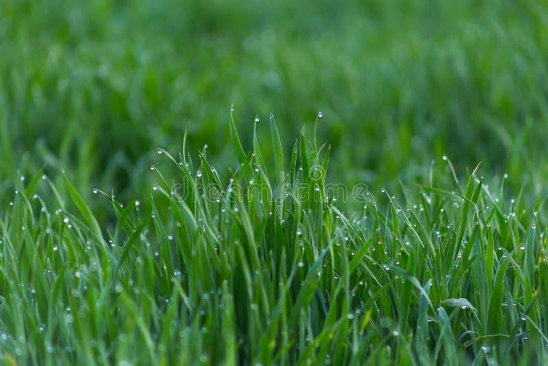 Πτώσεις κινηματογραφήσεων σε πρώτο πλάνο της δροσιάς στη νέα φρέσκια πράσινη χλόη στοκ εικόνες
