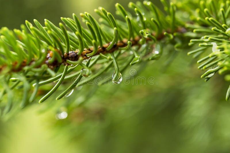 Πτώσεις νερού σε ένα δέντρο πεύκων στοκ εικόνα