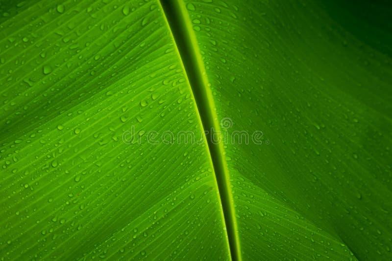 Πτώσεις νερού σε ένα φύλλο μπανανών στοκ φωτογραφίες με δικαίωμα ελεύθερης χρήσης