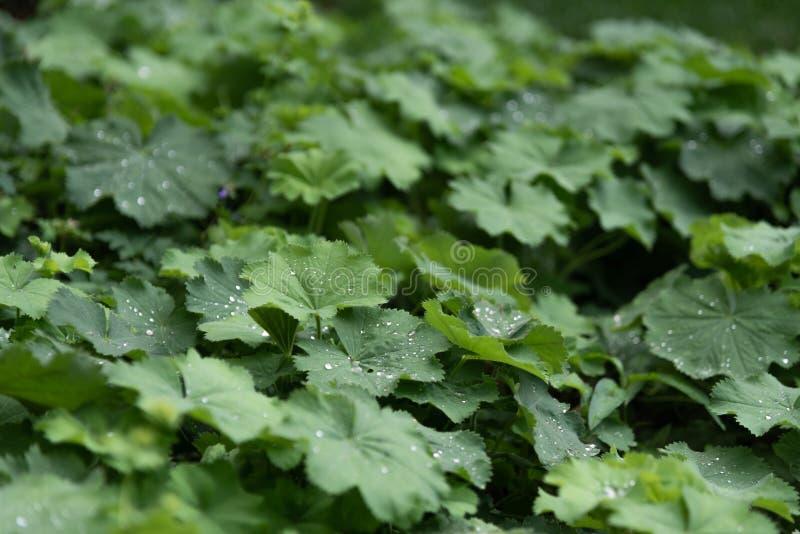 Πτώσεις νερού στο πράσινο φύλλο o Δροσιά μετά από τη βροχή στοκ εικόνα με δικαίωμα ελεύθερης χρήσης