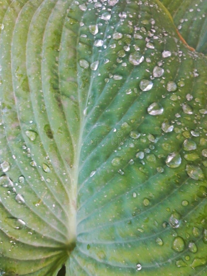 Πτώσεις νερού στο φύλλο hosta στοκ εικόνες