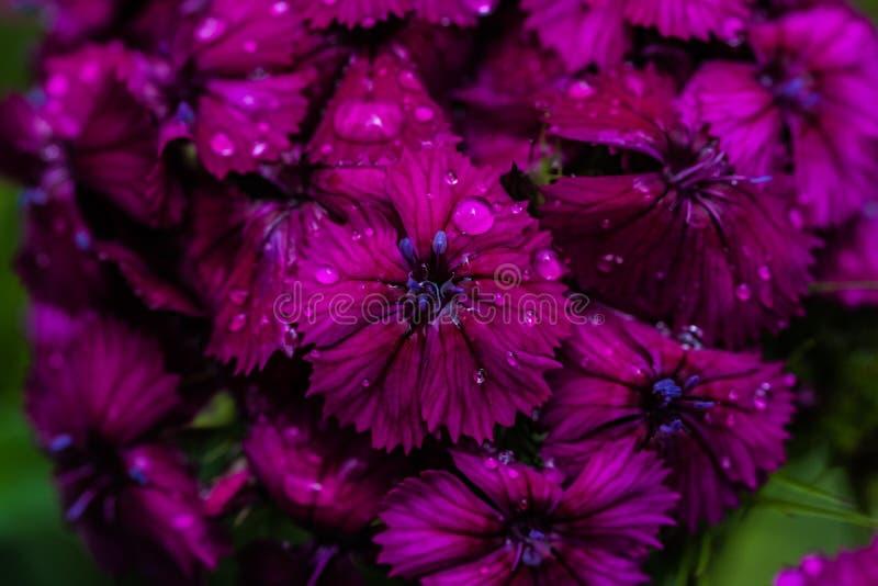 Πτώσεις δροσιάς σε ένα ιώδες γλυκό λουλούδι του William στοκ εικόνα