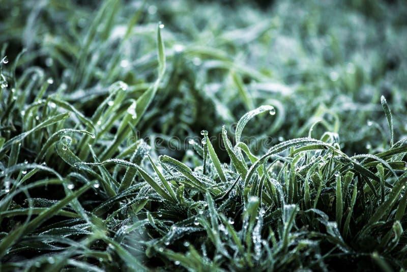 Πτώσεις της φρέσκιας δροσιάς στην πολύβλαστη πράσινη χλόη, σταγονίδια νερού στη χλόη, μακρο υπόβαθρο φύσης ξημερωμάτων στοκ εικόνα