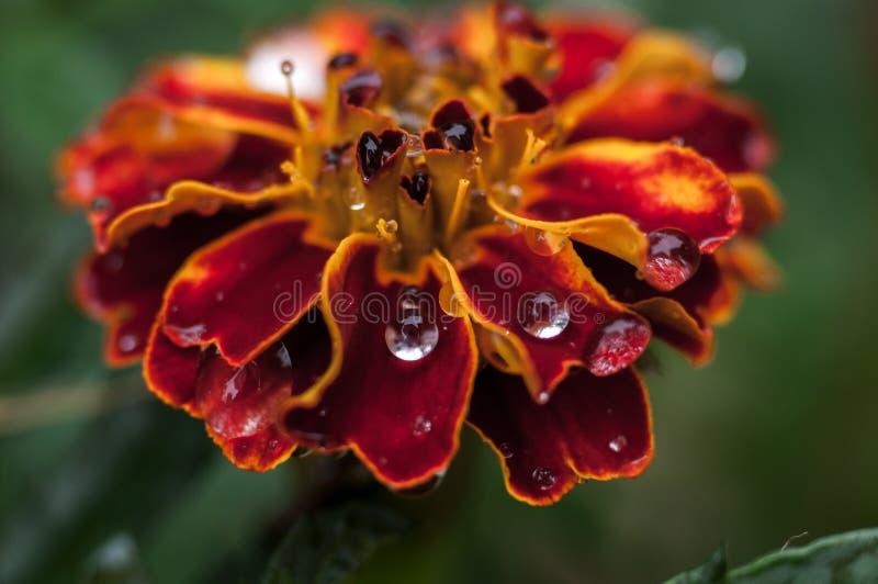 Πτώσεις marigold μετά από τη βροχή στοκ εικόνες