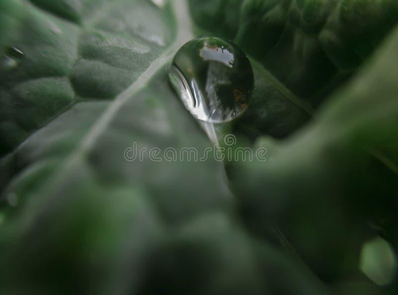 Πτώση δροσιάς στο leaf_macro κατσαρού λάχανου στοκ φωτογραφίες