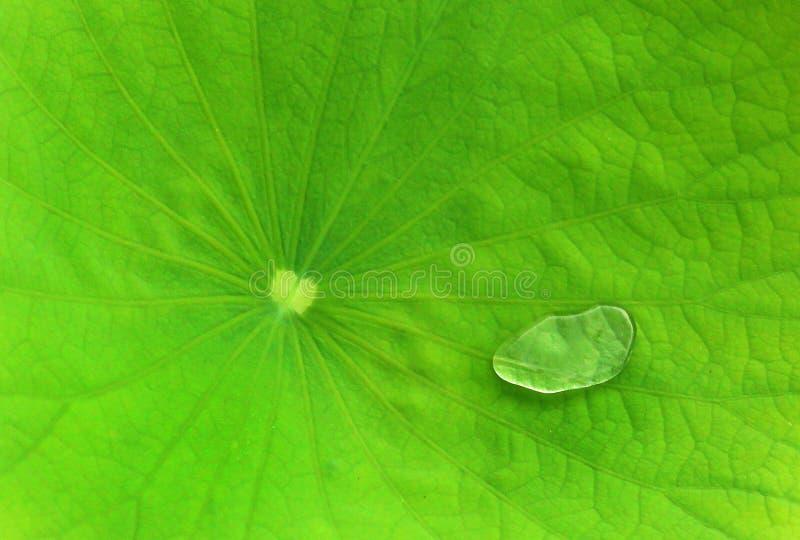 Πτώση νερού σε ένα οριζόντιο πλαίσιο φύλλων λωτού στοκ φωτογραφίες