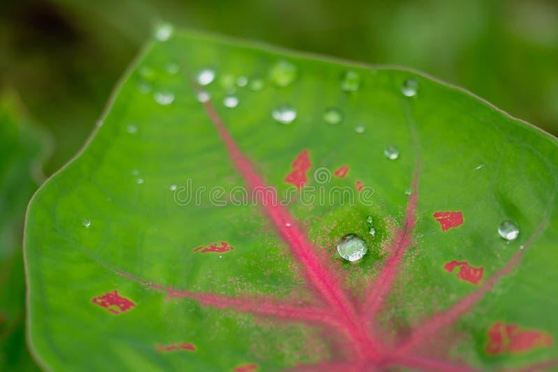 Πτώση νερού στο κόκκινο φύλλο λωτού στοκ φωτογραφία