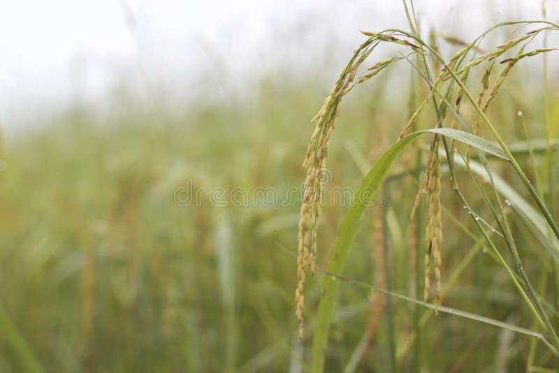 Πτώση ρυζιού και δροσιάς το πρωί στοκ φωτογραφία