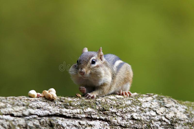 Πτώση Chipmunk σε έναν κλάδο με τα καρύδια στοκ εικόνα