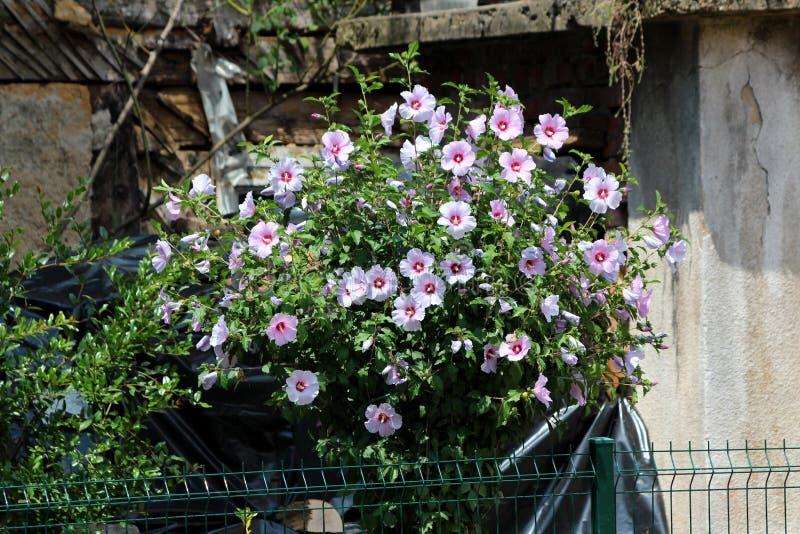 Πυκνά αναπτυσσόμενο φυτό θάμνων Hibiscus syriacus γεμάτο με ανθισμένα βιολετί και σκουρόχρωμα κόκκινα άνθη σε σχήμα τρομπέτας σε  στοκ φωτογραφίες με δικαίωμα ελεύθερης χρήσης