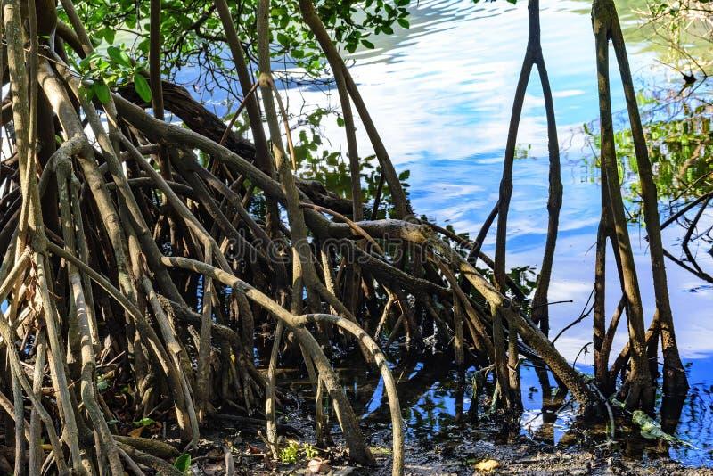 Πυκνή και χαρακτηριστική βλάστηση των τροπικών μαγγροβίων στοκ φωτογραφία με δικαίωμα ελεύθερης χρήσης