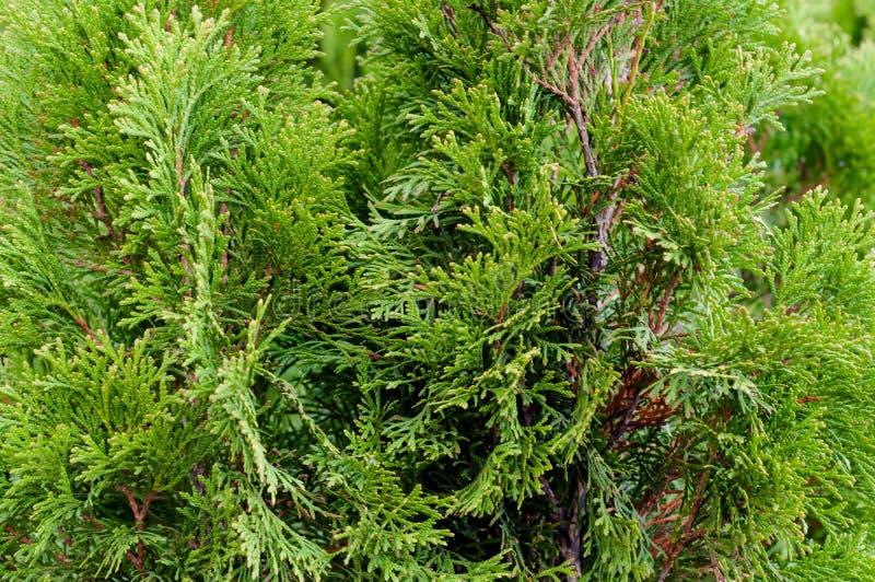 Πυκνοί κλάδοι πράσινου συρμού Αειθαλές φυτό κωνοφόρων με φύλλα ομοιάζοντα με κλίμακα Κωνοφόρο δέντρο Οικογένεια Cypress στοκ εικόνα με δικαίωμα ελεύθερης χρήσης