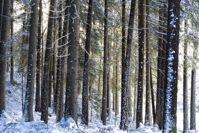 Πυκνοί κορμοί δασικών δέντρων και κάλυψη χειμερινού χιονιού στοκ φωτογραφία