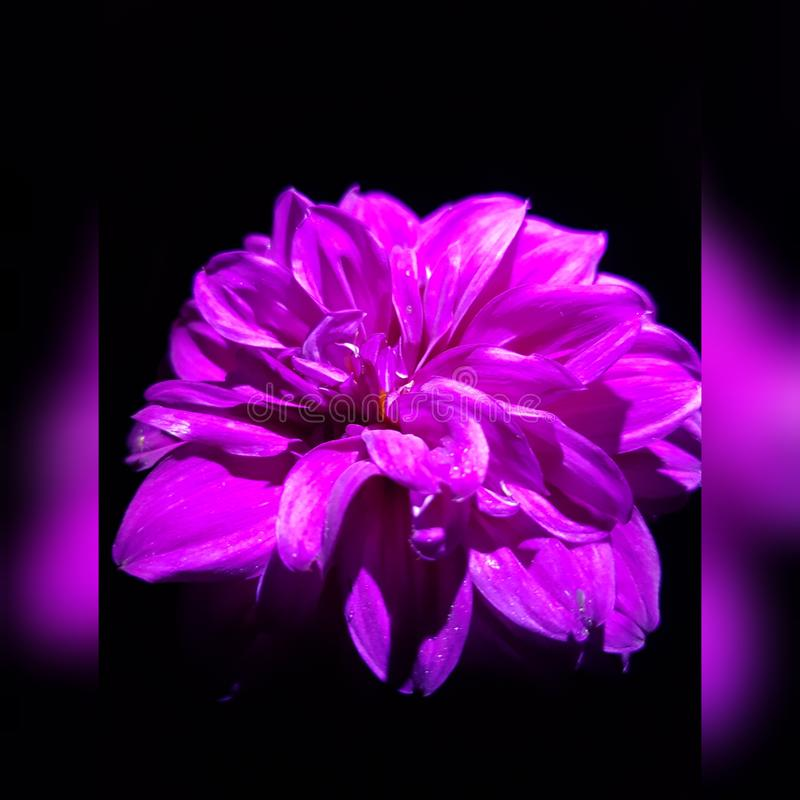 Πυράκτωση νύχτας των λουλουδιών Όμορφες ντάλιες στοκ φωτογραφίες με δικαίωμα ελεύθερης χρήσης