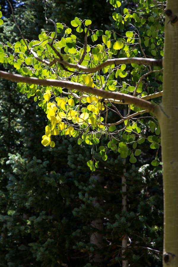 Download Πυράκτωση Aspen στοκ εικόνες. εικόνα από φύλλα, βασιλικών - 62714708
