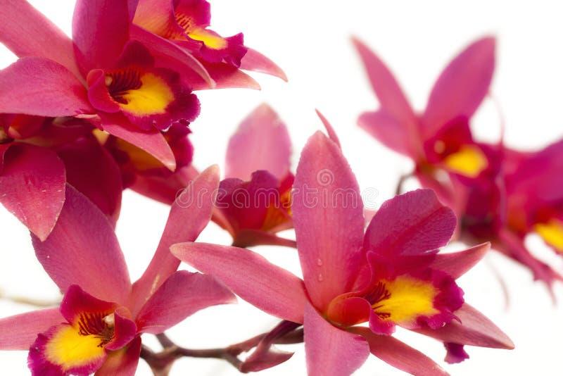 Πυράκτωση Newberry ορχιδεών Laelia στοκ φωτογραφία με δικαίωμα ελεύθερης χρήσης