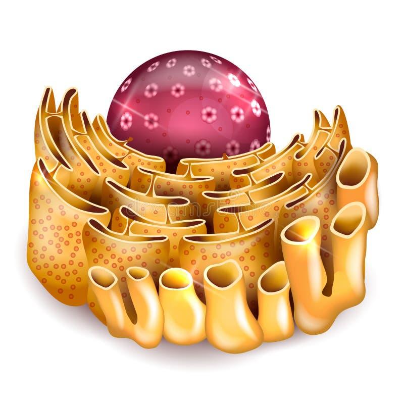 Πυρήνας κυττάρων και Endoplasmic reticulum ελεύθερη απεικόνιση δικαιώματος