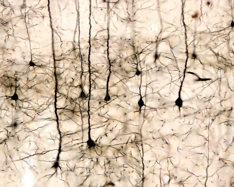 Πυραμιδικοί νευρώνες Εγκεφαλικός φλοιός στοκ φωτογραφία με δικαίωμα ελεύθερης χρήσης