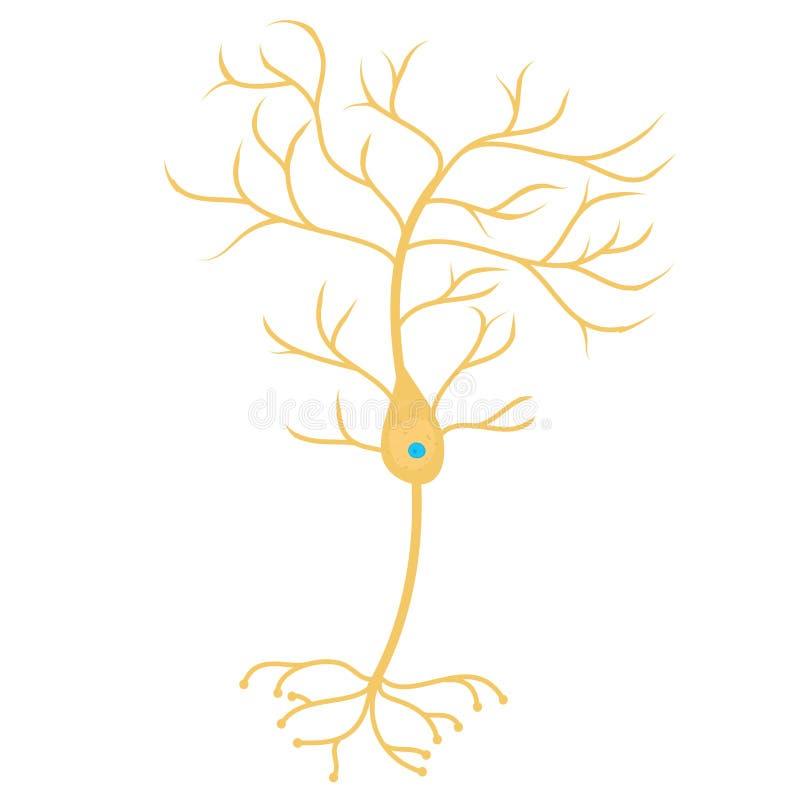 Πυραμιδικό κύτταρο νευρώνων απεικόνιση αποθεμάτων