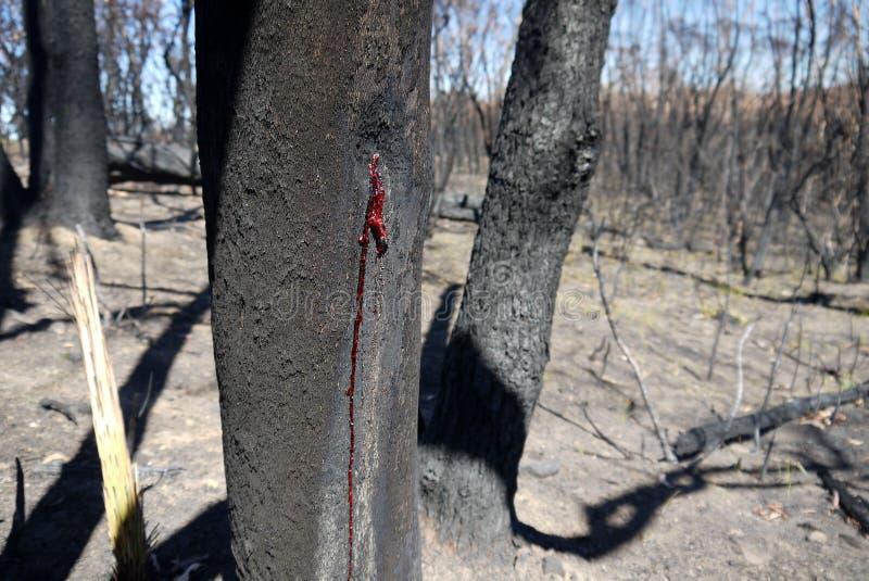 Πυρκαγιά θάμνων της Αυστραλίας: μμένη κόκκινη ρητίνη κορμών στοκ εικόνες