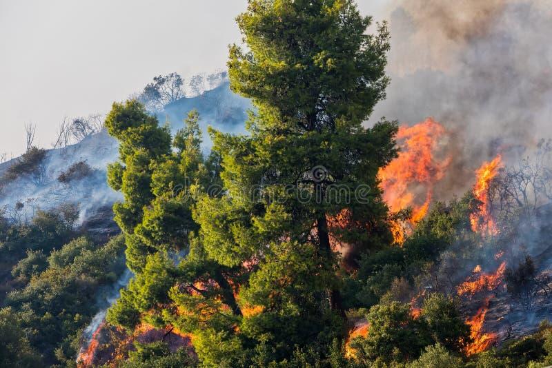 Πυρκαγιά σε ένα δάσος πεύκων σε Kassandra, στοκ φωτογραφίες