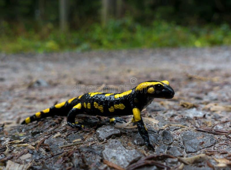 Πυρκαγιά salamander από την πλευρά στοκ εικόνες