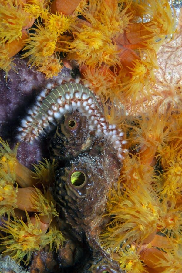 Πυροσκώληκες με γενειάδα, Hermotrice carunculata στοκ φωτογραφία με δικαίωμα ελεύθερης χρήσης