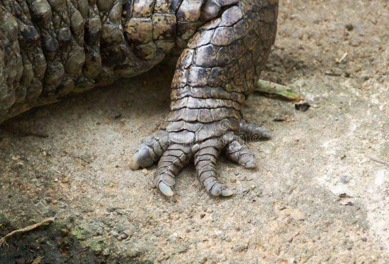 Πόδι αλλιγάτορα στοκ φωτογραφία με δικαίωμα ελεύθερης χρήσης