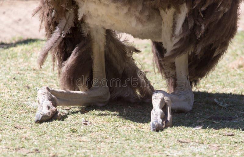Πόδι στρουθοκαμήλων στοκ φωτογραφία με δικαίωμα ελεύθερης χρήσης