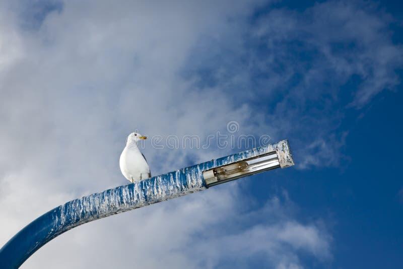 πόλος seagul στοκ φωτογραφίες