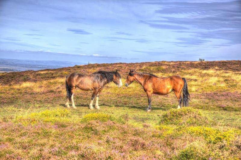 Πόνι στους λόφους Somerset Αγγλία Quantock με την πορφυρή ερείκη στοκ εικόνες με δικαίωμα ελεύθερης χρήσης