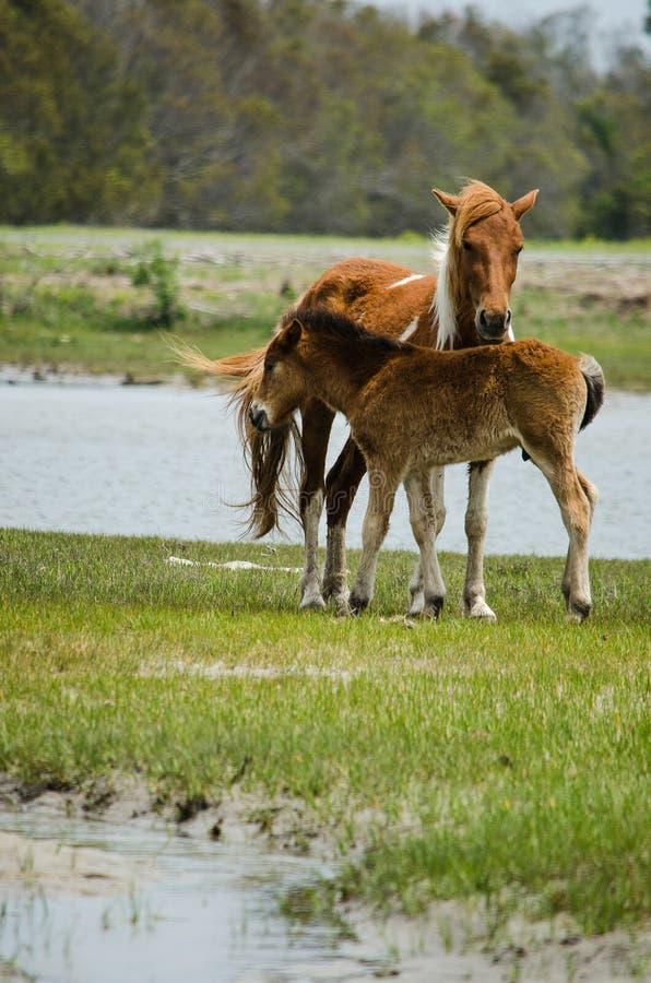 Πόνι Chincoteague, επίσης γνωστό ως άλογο Assateague στοκ φωτογραφίες με δικαίωμα ελεύθερης χρήσης