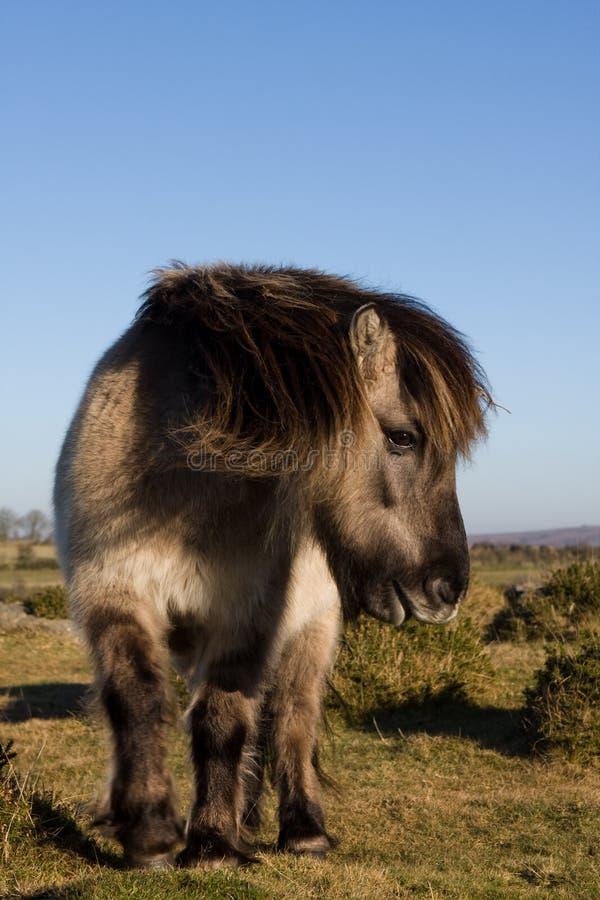 πόνι dartmoor στοκ φωτογραφία