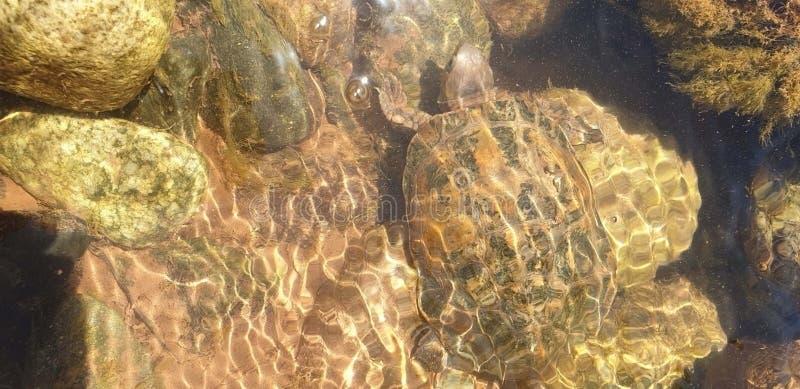 Πόσες χελώνες στοκ φωτογραφίες