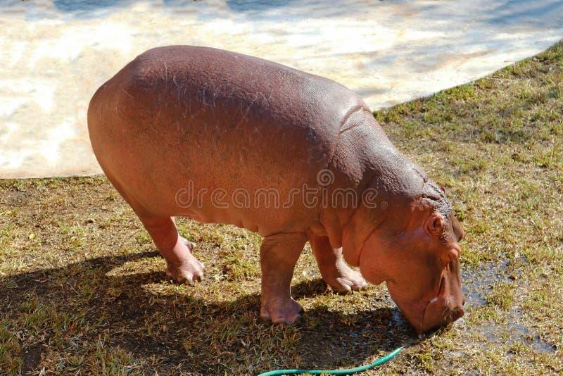 Πόσιμο νερό Hippo από τη μάνικα νερού στοκ φωτογραφίες