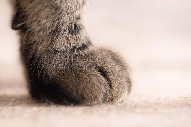 Πόδι της μεγάλης τιγρέ γάτας στοκ εικόνες