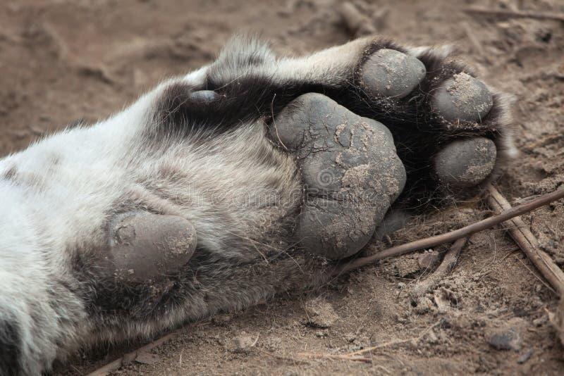 Πόδι της σιβηρικής τίγρης (altaica Panthera Τίγρης), γνωστό επίσης στοκ φωτογραφίες