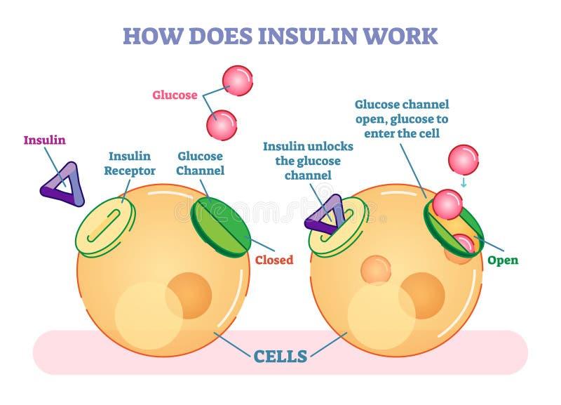 Πώς η ινσουλίνη λειτουργεί, διευκρινισμένο διανυσματικό διάγραμμα Εκπαιδευτικές ιατρικές πληροφορίες απεικόνιση αποθεμάτων