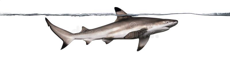Πλάγια όψη μιας κολύμβησης καρχαριών σκοπέλων Blacktip στοκ εικόνες με δικαίωμα ελεύθερης χρήσης