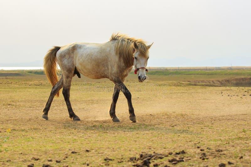 Πλήρες σώμα πορτρέτου του άσπρου αλόγου με το όμορφο φως πλαισίων πάλι στοκ φωτογραφία
