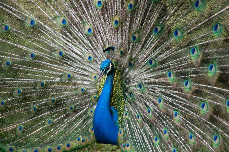 πλήρες peacock παρουσίασης στοκ φωτογραφία με δικαίωμα ελεύθερης χρήσης